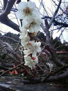 白梅咲いてます